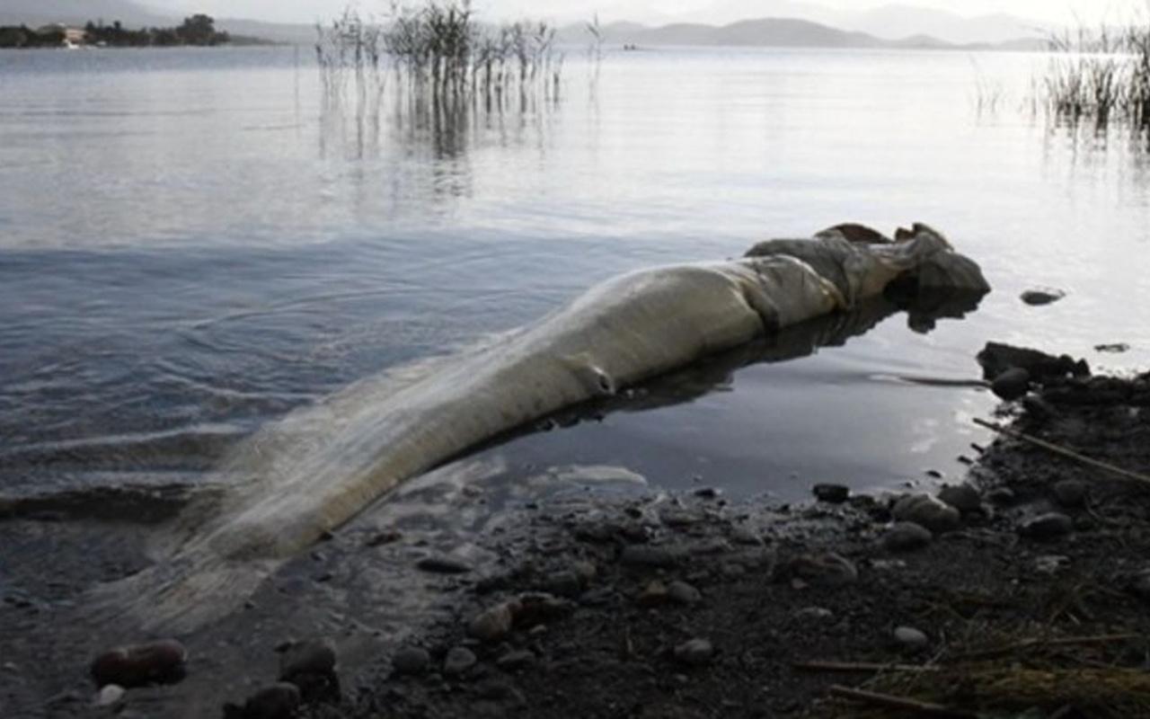 Köyceğiz'de dev yayın balığı kıyıya vurdu! Böylesi daha önce görülmedi