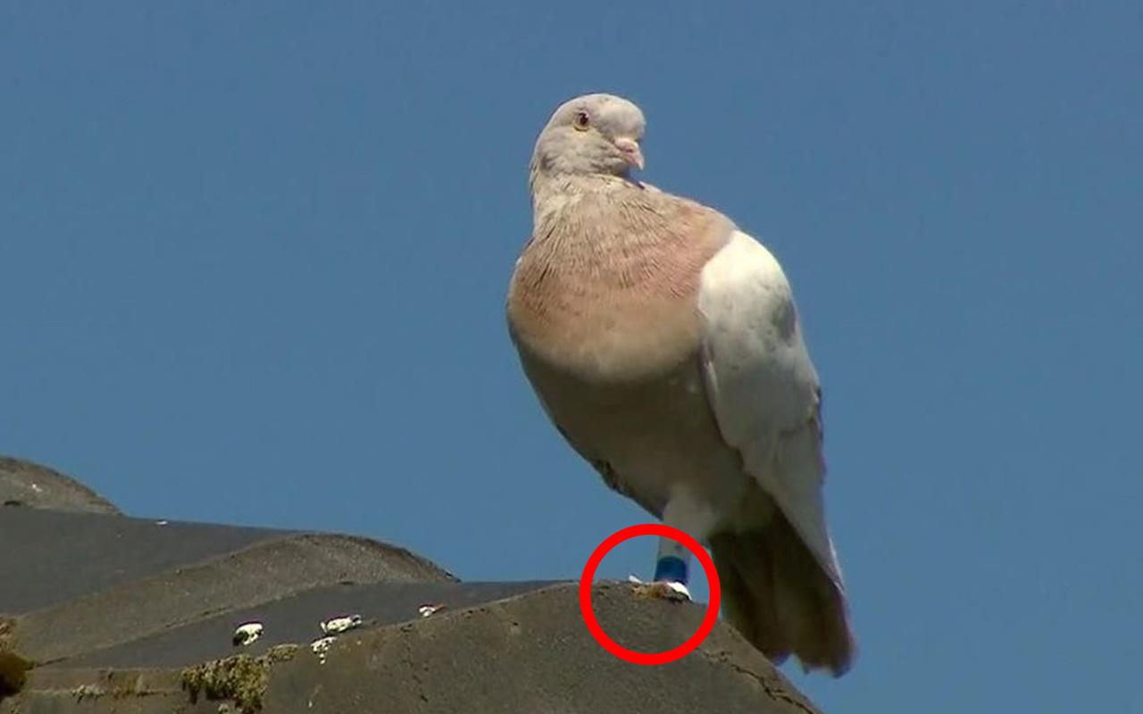 Avustralya'yı karıştırmıştı Türk güvercini çıktı! Meğer ayağındaki etiket...