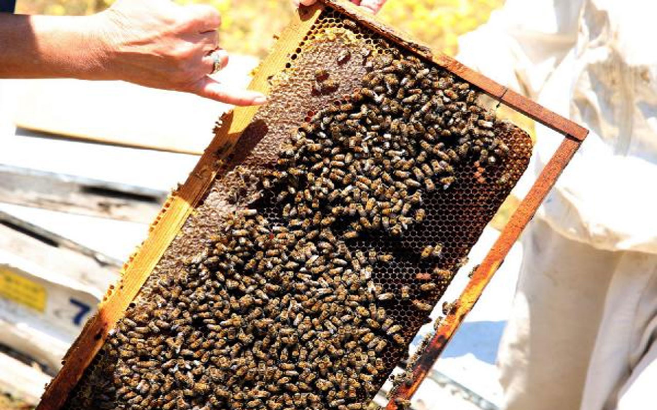 Prof. Dr. Ulviye Kumova: Arıların Covid- 19'u tespiti konusunda bir test ve araştırma yapılması gerekiyor