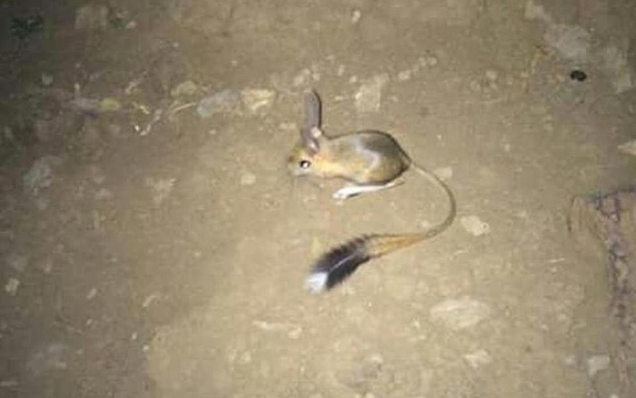 Kırmızı listede bulunuyordu! Şanlıurfa'da ortaya çıktı kanguru fare ve sincaba benziyor