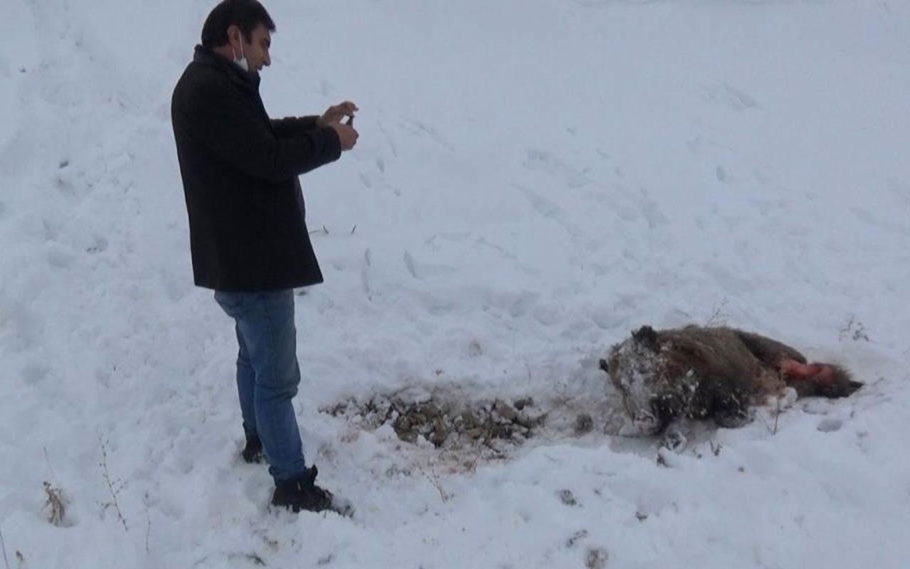 Kars'ta aç kalan kurtlar domuzları parçalaması dehşete düşürdü