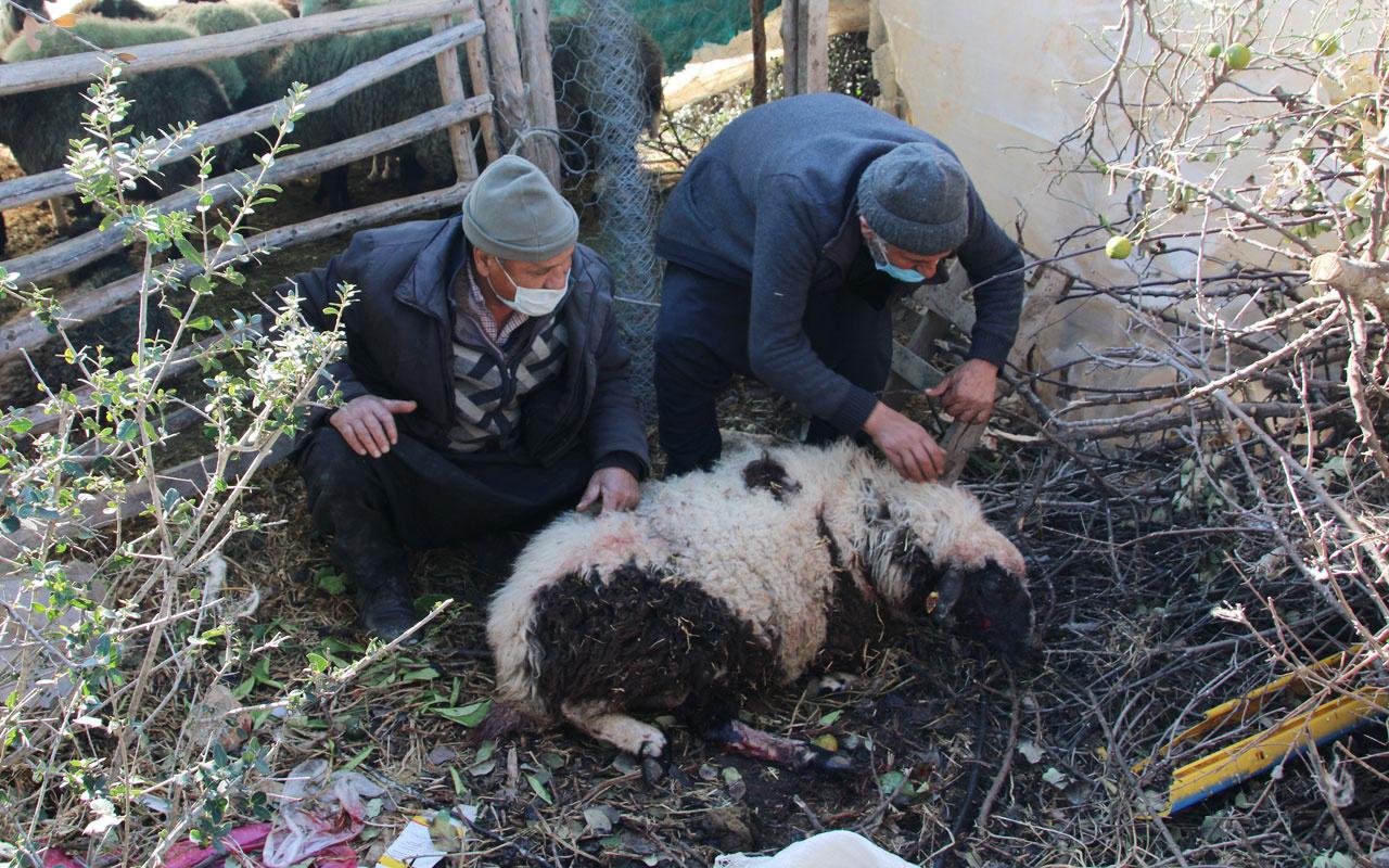 Mersin'de ahıra giren 2 pitbull  4koyun ile 2 kuzuyu telef etti, 21 koyunuyaraladı