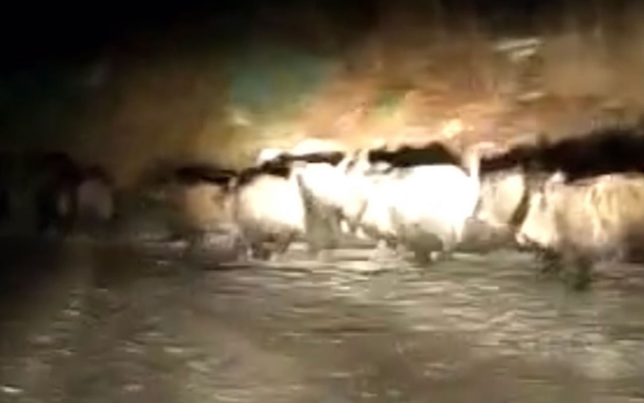 Bartın'da aç kalan domuz sürüsü köye indi