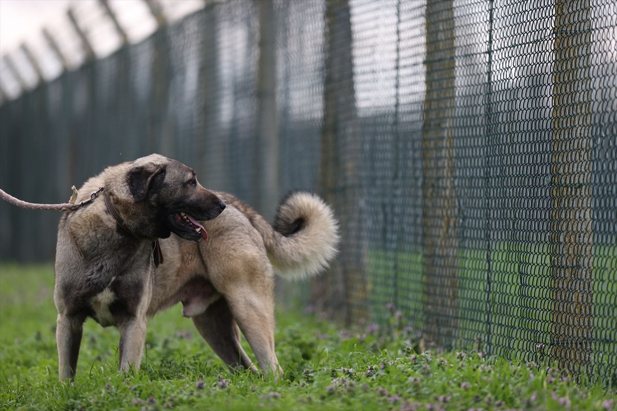 Bu köpeklere sahip olmak isteyen aylarca bekliyor! Dilekçeyle başvuruluyor tanesi 5 bin lira