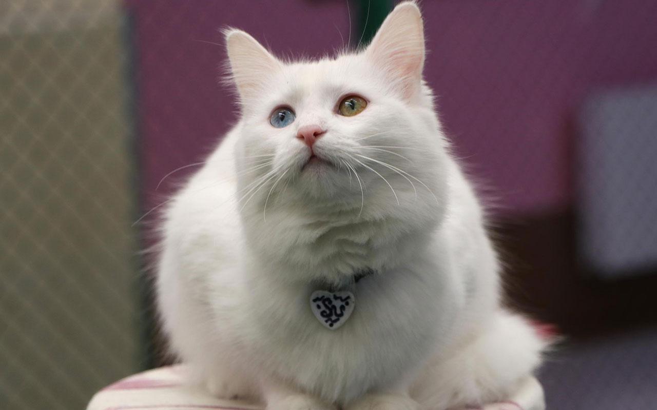 Koronavirüs salgını kedileri de vurdu! Salgın döneminde kedilerde davranış bozukluğu oldu