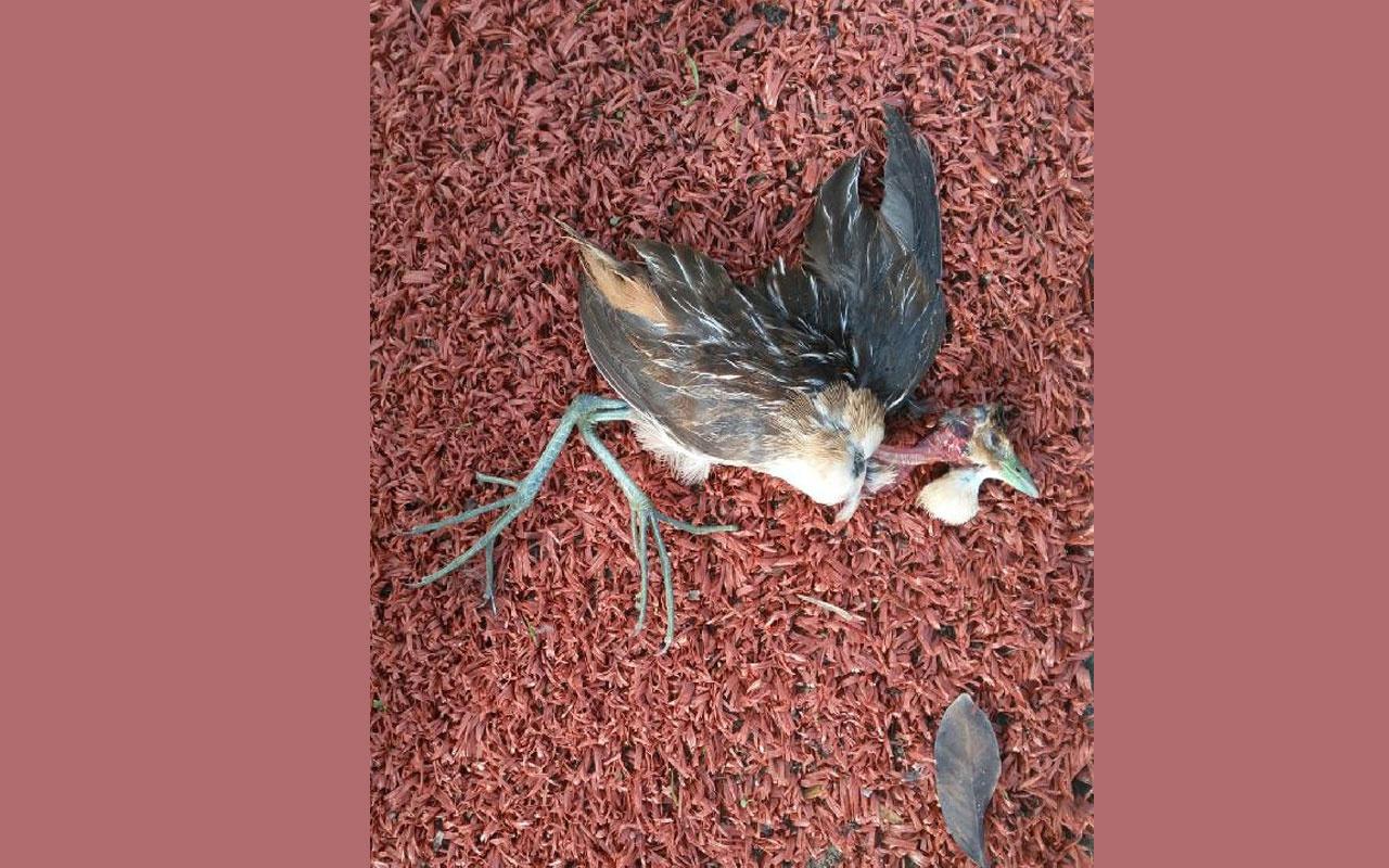 Bodrum'da ölü bulunan kuşun Türkiye'de ilk defa görülen Çizgili Yelve olduğu belirlendi