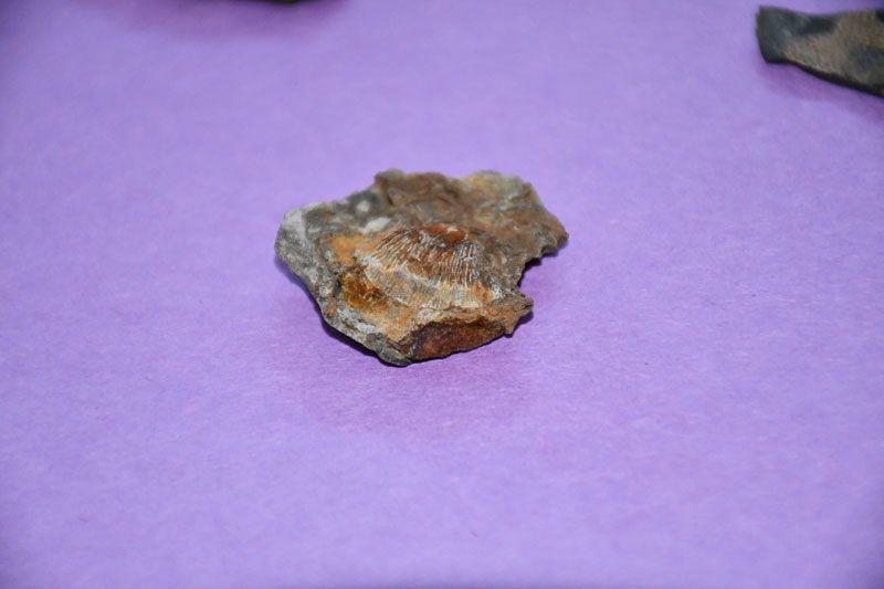 Şırnak dağlarında midye fosili bulundu