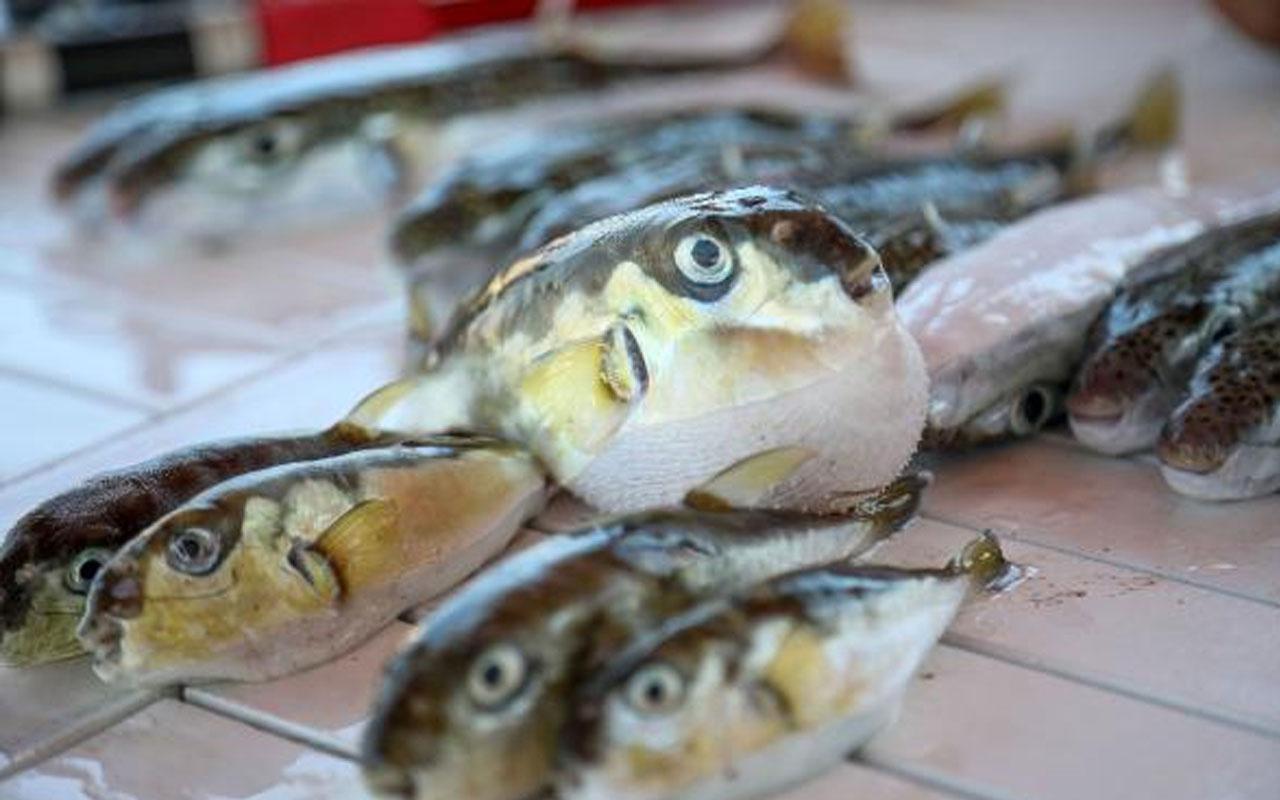 Ekonomik açıdan değerlendirildi! Balon balığının zehri ağrı kesici ilaca dönüşüyor