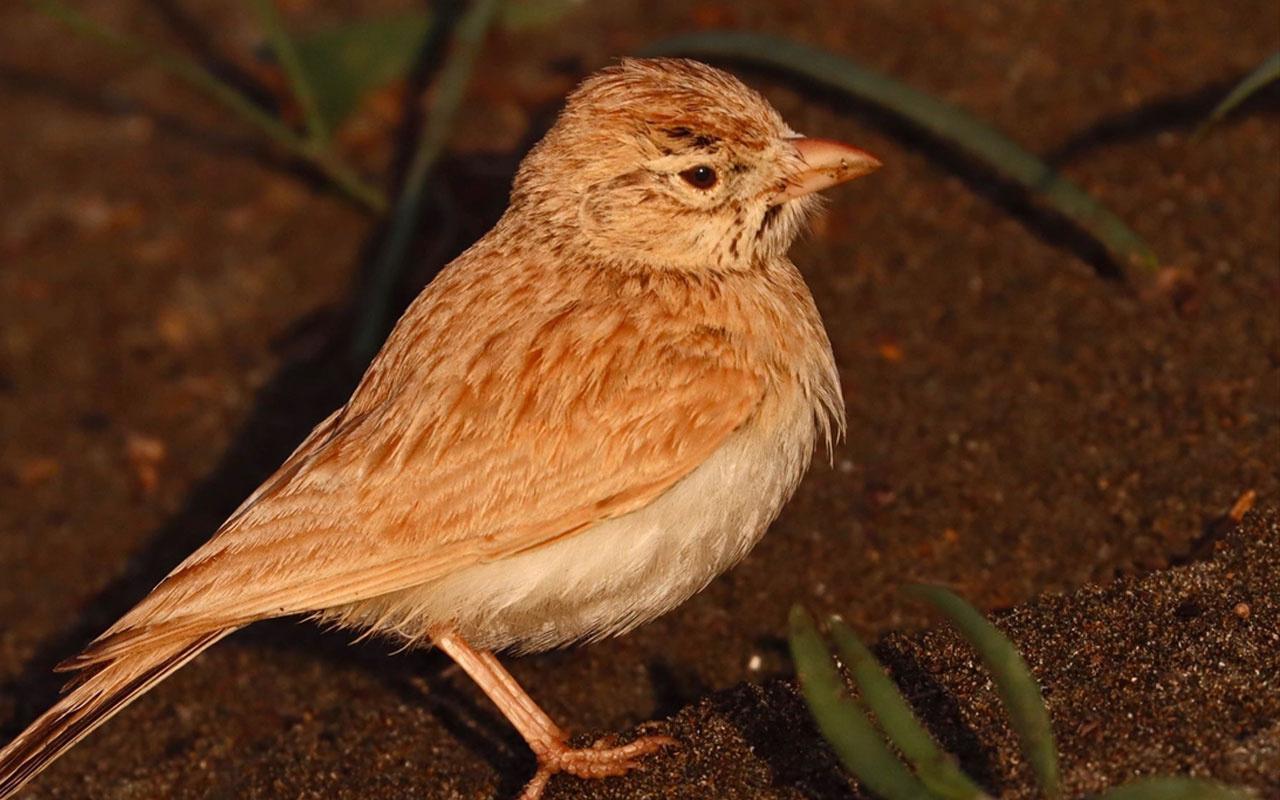 Arabistan toygarı türü kuş Türkiye'de ilk kez Hatay'da gözlemlendi