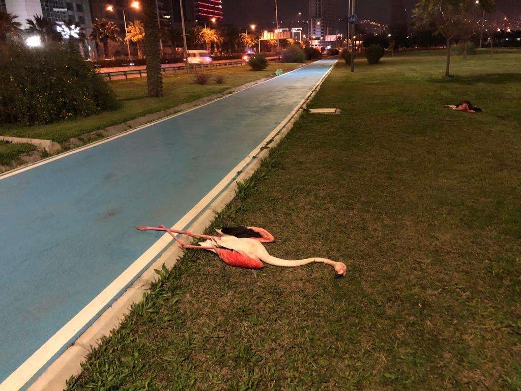 İzmir'de kuş gribi paniği! Sahilde telef olmuş 9 flamingo bulundu