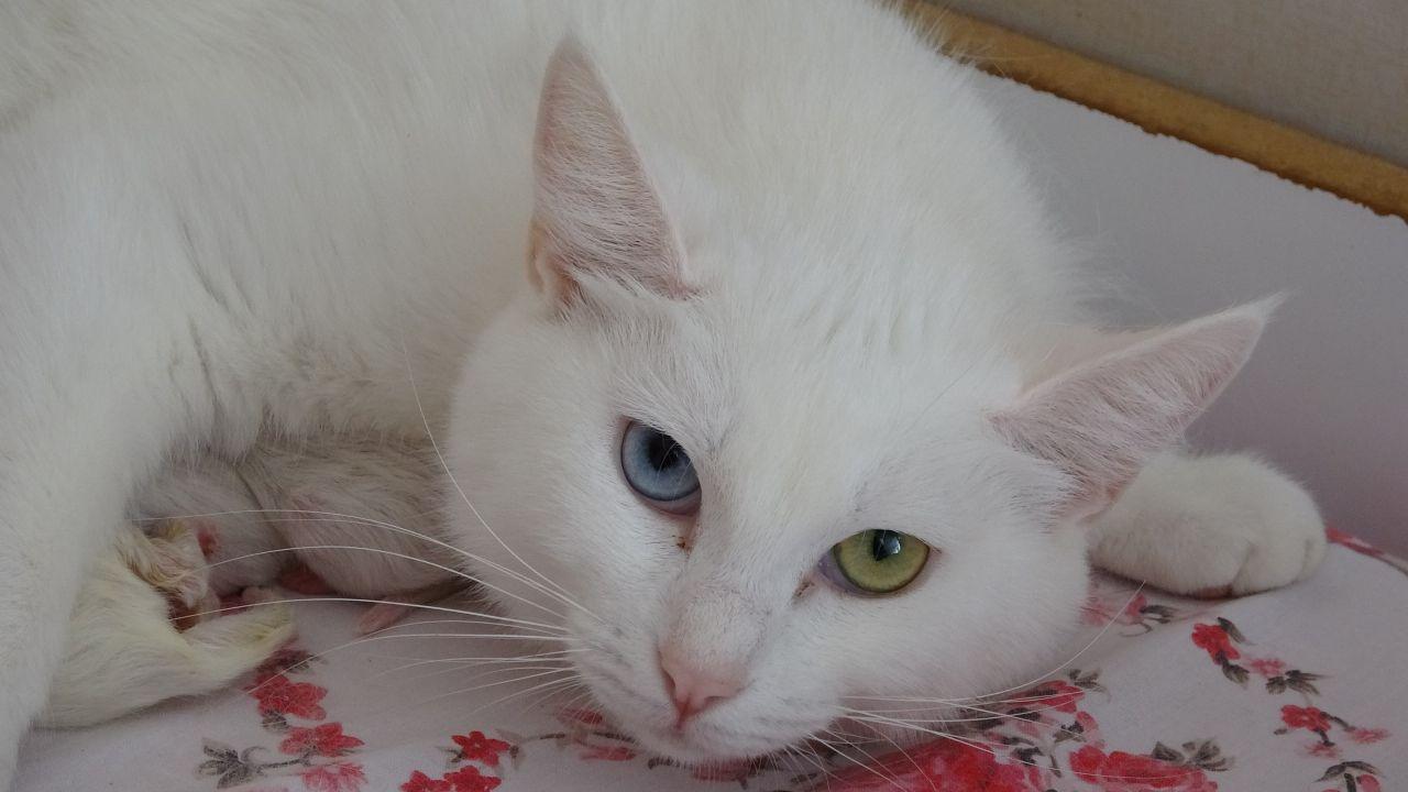 2021'in ilk Van kedileri dünyaya geldi! Gülümseten görüntüler ortaya çıktı