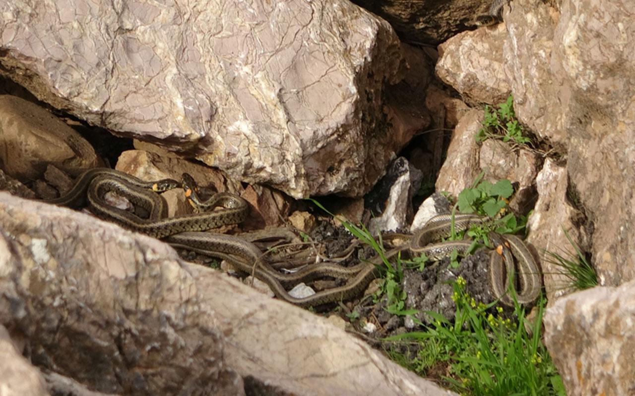 Yüksekova'da sürü halindeki yılanlar ürkütüyor! Sanki Brezilya'nın 'Yılan Adası'