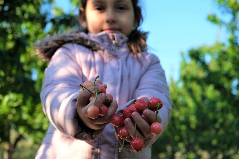 Kuzey yarımkürenin ilk kiraz hasadı! Manisa'da açık artırmayla kilosu 500 TL'den satıldı