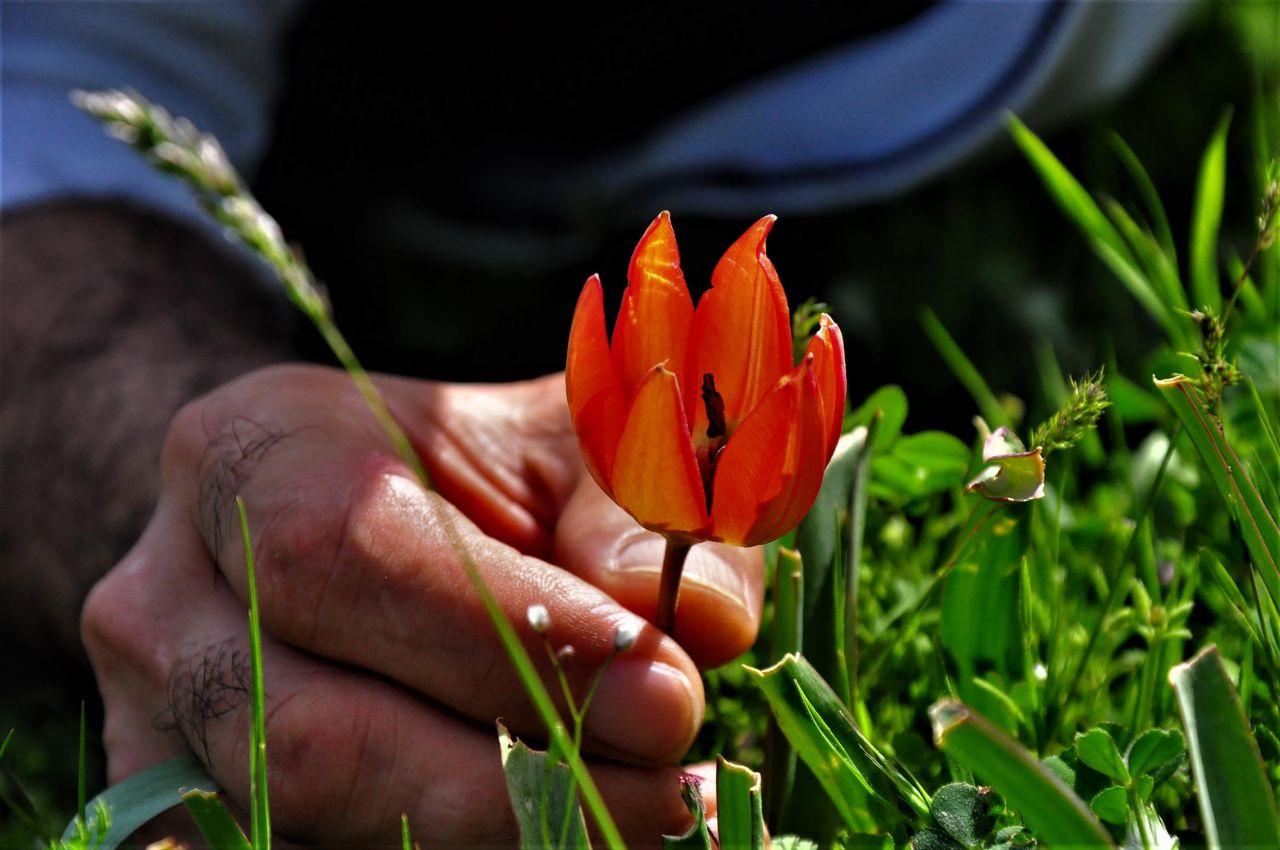 Manisa'da yılda sadece bir kez açıyor bu çiçeği koparan 80 bin 460 liralık cezayı öder