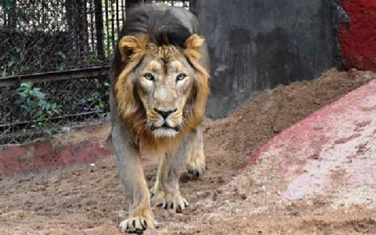 Hindistan'daki hayvanat bahçesinde 8 aslan koronavirüse yakalandı