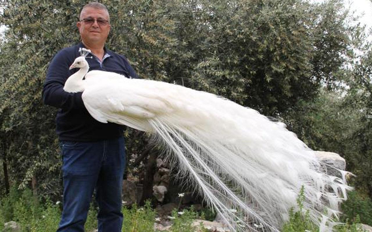 Mersin'de hobisi ticarete dönüştü! Tavus kuşlarının tanesini 2 bin liradan satıyor
