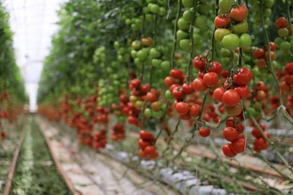Antalyalı çiftçi Hindistan cevizi kabuğundan domates üretiyor! Paraya para demiyor