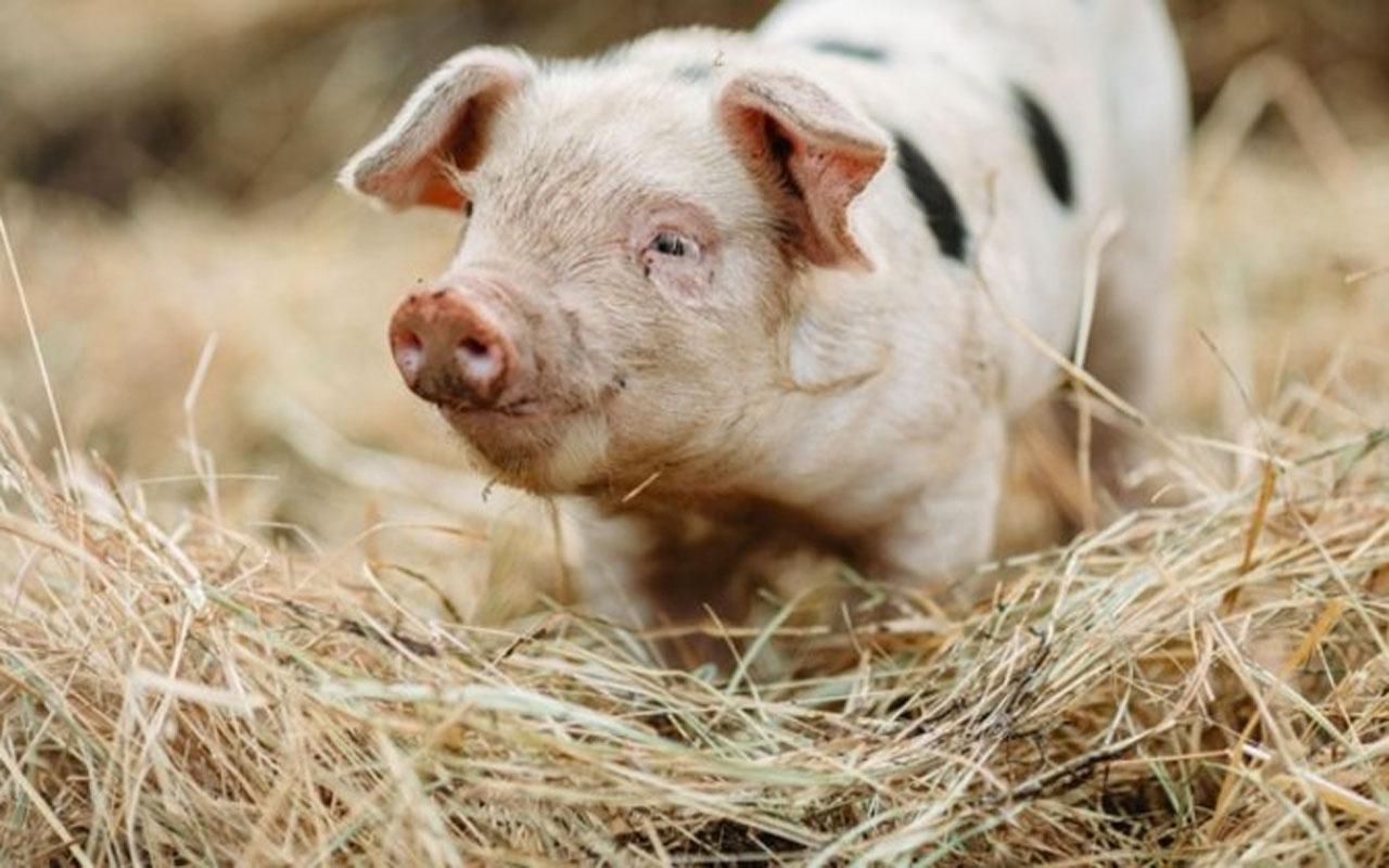 Filipinler Afrika domuz vebası salgını nedeniyle 'ulusal afet durumu' ilan etti