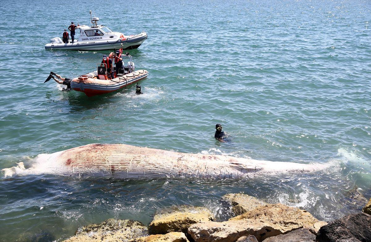 Mersin'de sahile vurdu! Görenler polisi aradı dünyanın ikinci büyük türü