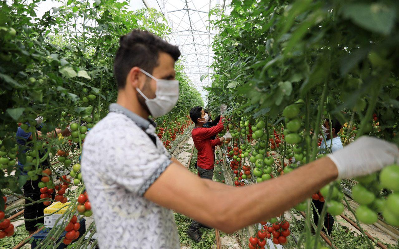 Antalya'da ortaya çıktı ve çok sinsi! 'İsrail virüsü'ne domatesin koronası diyorlar
