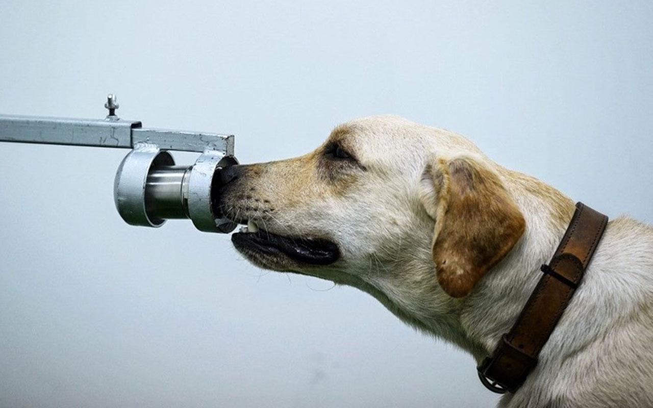 Köpeklerle koronavirüs testi! Köpekler Covid-19 vakalarını yüzde 97 doğru tespit etti