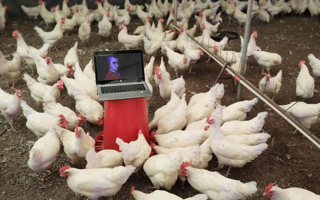 Tavuklara klasik müzik dinletiyor! Antalya'da opera sanatçısıyla anlaştı: Faydasını gördüm