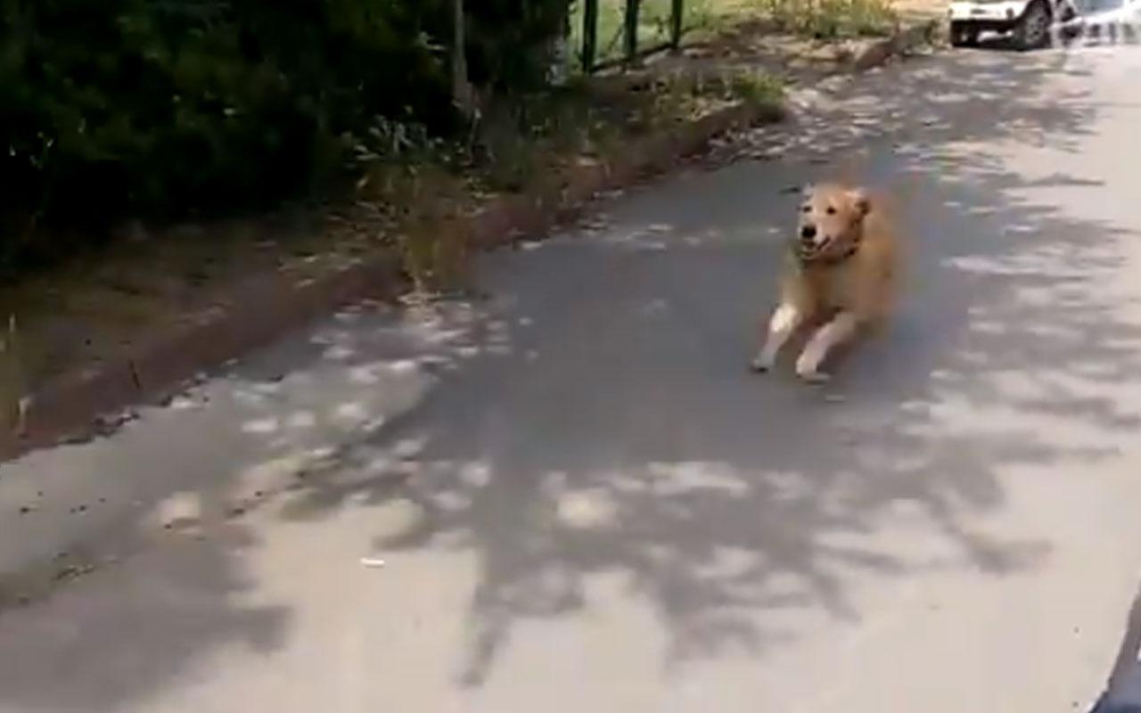 Büyükada'da kaydedildi! Fenalaşan sahibinin peşinden hastaneye kadar koştu