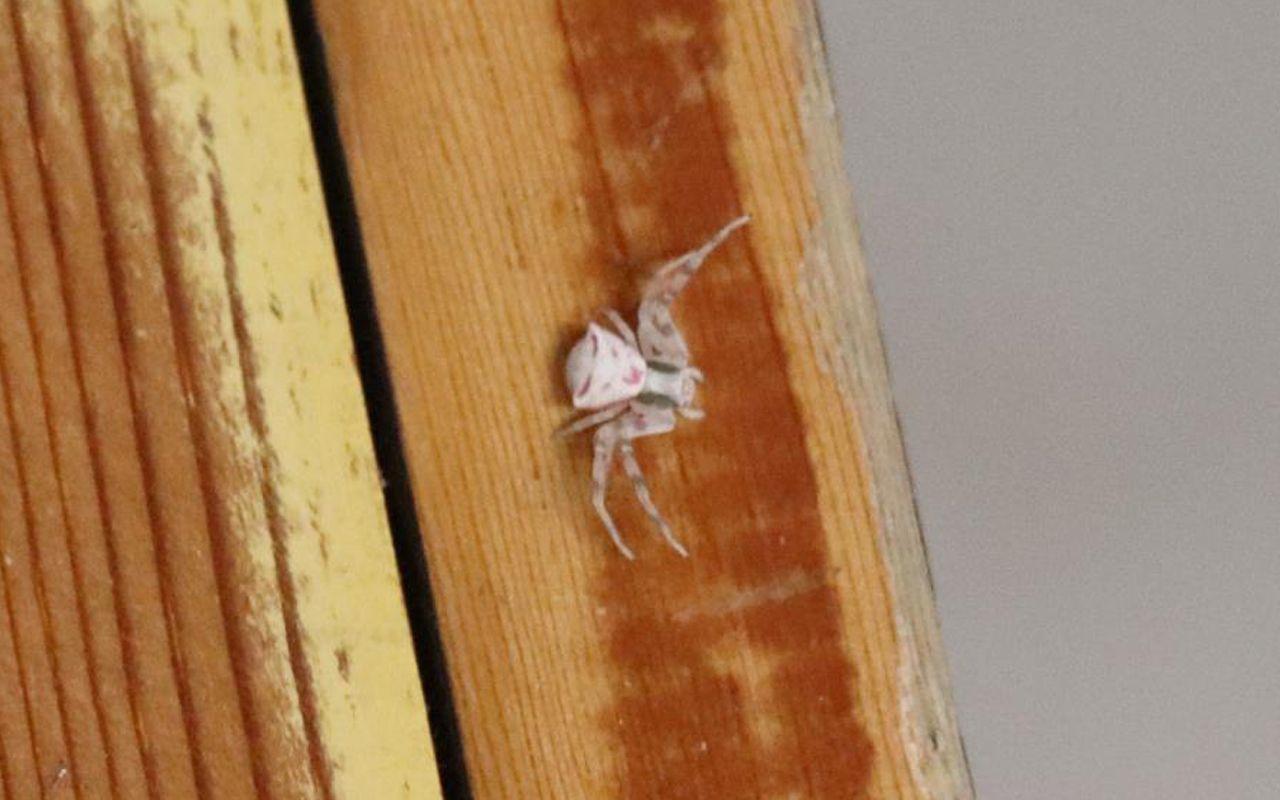 Türkiye'de Denizli'de ortaya çıktı! İnsan yüzlü örümcek hayrete düşürdü