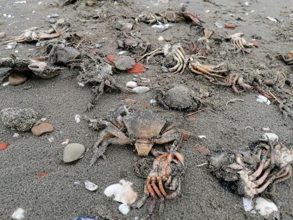 Silivri'de müsilaj sonrası yeni felaket! İlk kez oluyor sahili ölü yengeçler kapladı