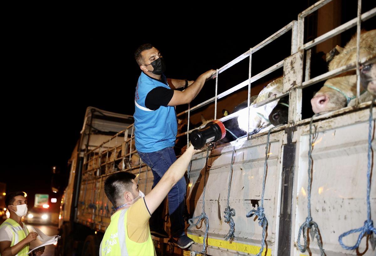 Kurbanlıklara yüzde 30 zam! İstanbul'a kurbanlık girişi başladı 17-18 bin liradan başlıyor