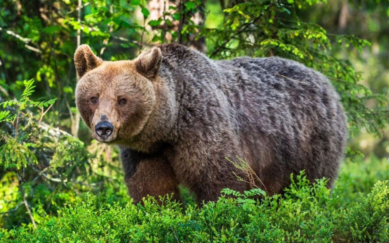 Kampta dehşet! ABD'de bir boz ayı bir kadını çadırından çekip öldürdü