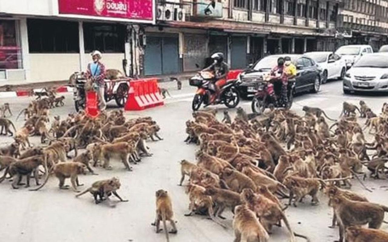 Koronavirüs sokakları boşalttı Tayland maymunlar cehennemine döndü!