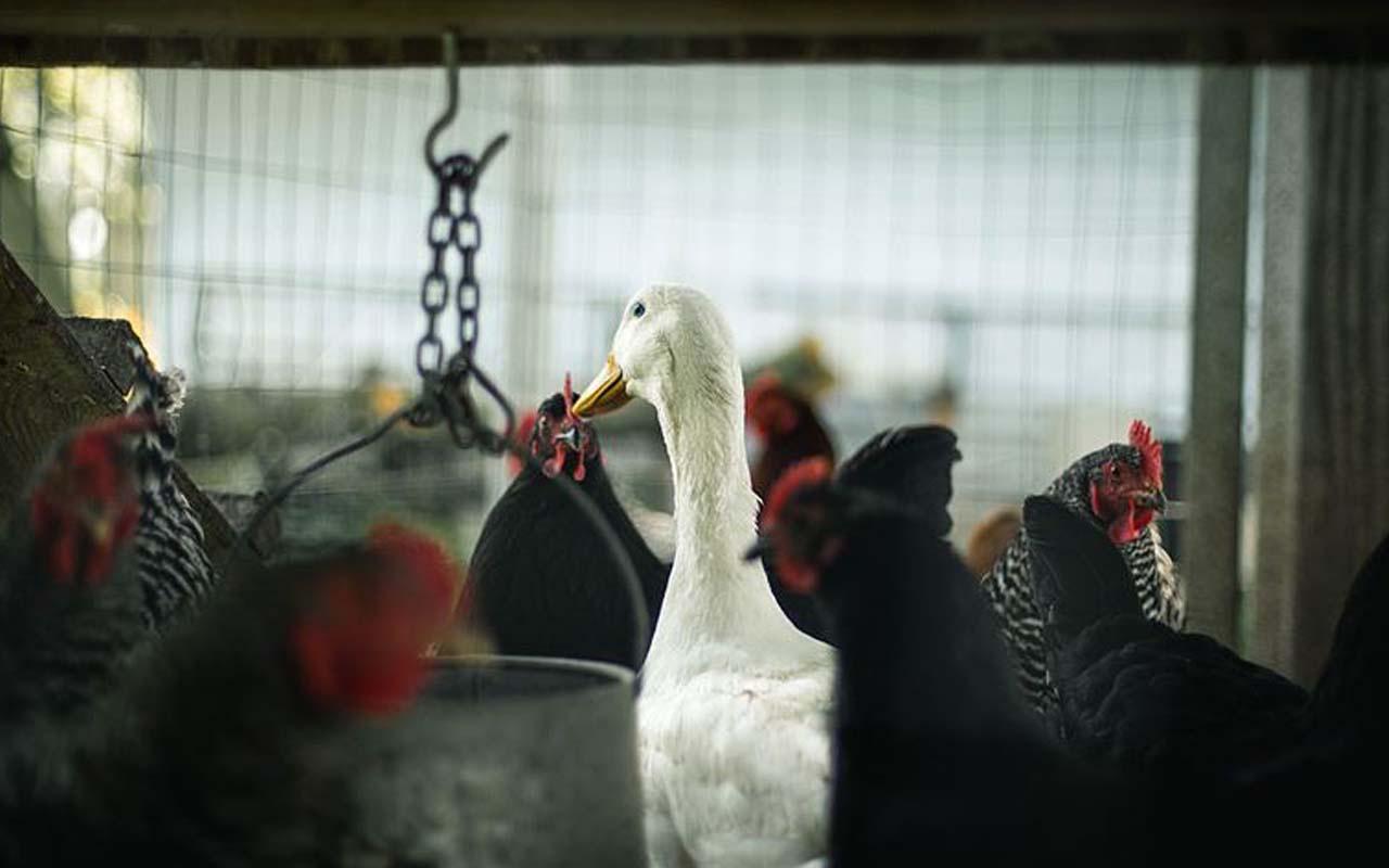 Fransa'da kuş gribi paniği! Alarm seviyesi yükseltildi