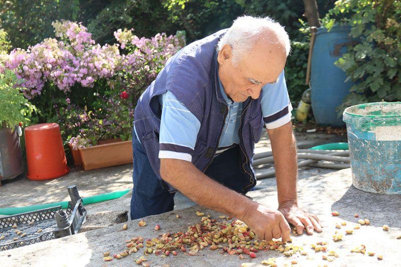 Eskişehir'de bahçesine öylesine dikti 'olmaz' dediler ama oldu şimdi ticaretine hazırlanıyor
