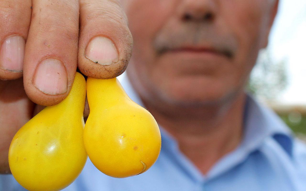 Sivas'ta üretildi! Armudu andıran sarı domates şaşkına çevirdi