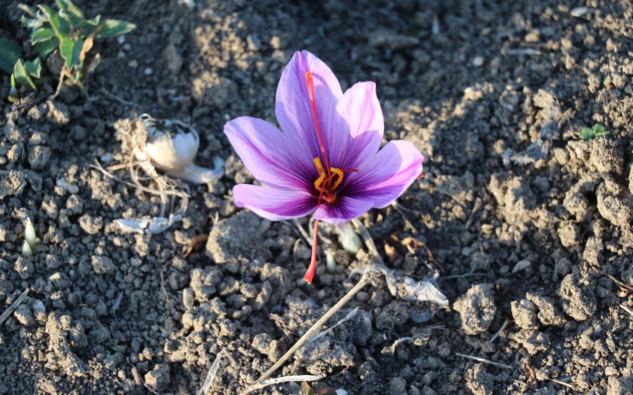 Karabük'te mucize bitki çiçek açtı! Kilosu 60 bin TL'ye satılıyor